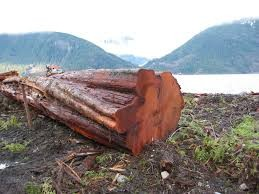 red-cedar-baum5e565155048f0